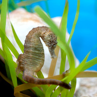 Lined Seahorse 2